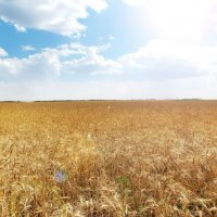 Пшеница :: Елена Мэй