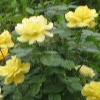 Украинская троянда :: ирина зубова