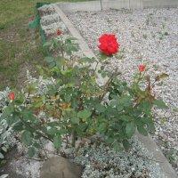 Розы :: ирина зубова