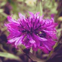 Пурпурный мирок :: Аполлинария Суседько