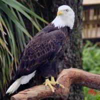 Американский орел :: Яков Геллер