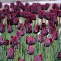 Тюльпаны - это дивные цветы... :: Anna Gornostayeva