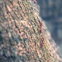 из жизни красных муравьёв2 :: Александр