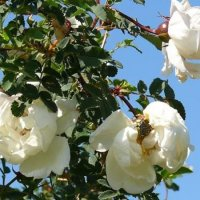 Цветущая дикая роза. :: Марина Китаева
