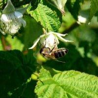 Пчела на цветах малины. :: Марина Китаева