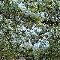 Яблони цветут :: alemigun