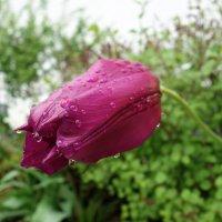 Дождливый май... :: Galina Dzubina