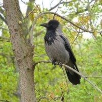Умная ворона - хитрая птица :: Маргарита Батырева