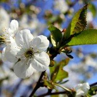 Что может быть прекрасней, чем цветенье вишни под окном? :: Валентина ツ ღ✿ღ