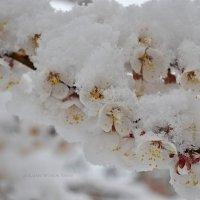 И под снегом цветут абрикосы!!!! :: Татьяна Кретова