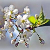 Нежность весны. :: Тамара Бучарская