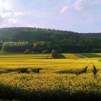 рапсовые поля :: Лилия Winоgradowa