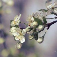 Когда цветут сады... :: Nataliya Zvorigina
