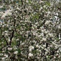 Бушует яблоневый цвет :: Нина Корешкова