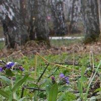 Первый цветок медуницы. :: Наталья Золотых-Сибирская