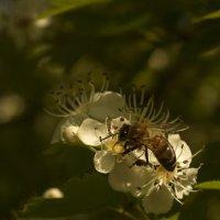 Пчелка :: Владимир Бегляров