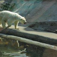 Белый медведь :: Андрей Козов