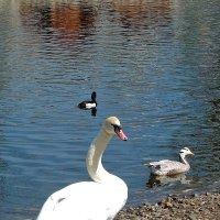 Белый лебедь :: Андрей Козов