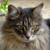 Зеленоглазая кошка :: Милешкин Владимир Алексеевич