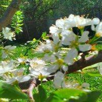 ветка сливы в цвету1 :: SoNata_78