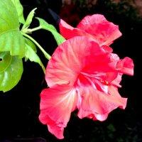 Комнатный цветок :: Валентина Богатко