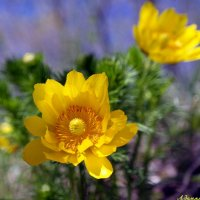 Жаркий цвет адонисов.. :: Андрей Заломленков