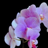 Майская орхидея :: Сергей Карачин