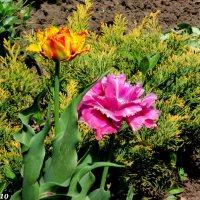 Разноцветье весны :: Нина Бутко