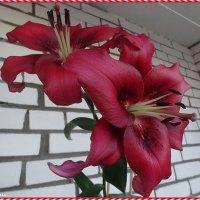 Лилия fangio pink :: Вера