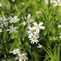лесное цветение :: оксана