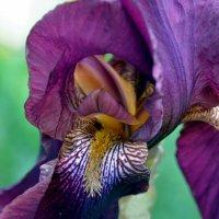 Таинство цветка. Ирис во всей красе. :: Ольга Голубева