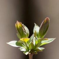 Растение :: Эммль Buturlin