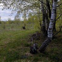 Береза - символ рязанского края :: Константин Тимченко