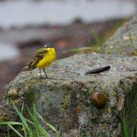 Желтая трясогузка в дождливую погоду.. :: Ната Волга