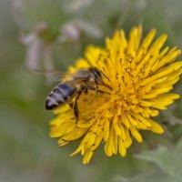 Одуванчик и пчела :: Евгений Лимонтов