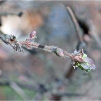 Жимолость в мае :: muh5257
