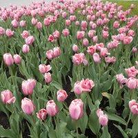 Тюльпаны в День Победы :: Tarka