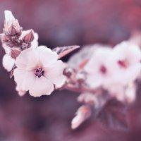 Один раз в год сады цветут :: Tatiana Neko