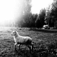 Долли :: Светлана Шмелева