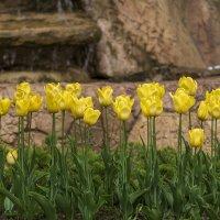 Желтые тюльпаны :: Игорь Сикорский