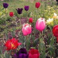 тюльпаны :: Ангелина