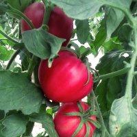 """томаты """"бычье сердце"""" :: Ангелина"""