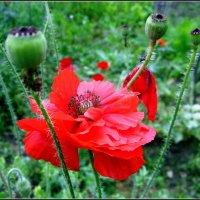 Мак - цветок лучистой красоты . :: Мила Бовкун