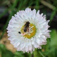 Пчела-труженица :: Натали