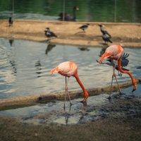 Фламинго :: Ruslan --