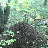Лесной муравейник :: Эльвира Давлятова