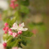 Яблони в цвету :: Ильгам Кильдеев