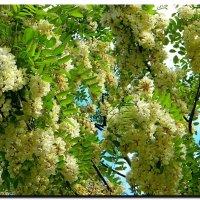 белой  акации  гроздья  душистые ! :: Ivana