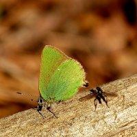 Малинница, или голубянка малинная :: Александр Прокудин