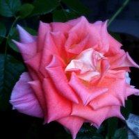 Роза :: Валентина Богатко